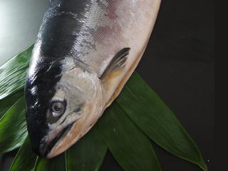 天然汐紅鮭2.8キロ前後