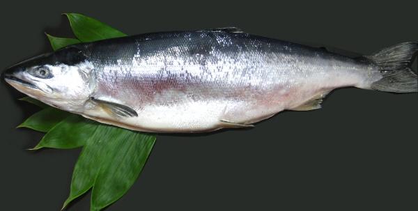 天然若い紅鮭です